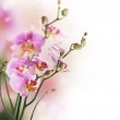 Orchid Border — Stock Photo #10686177