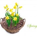 Beautiful Daffodils growing in a basket — Stock Photo