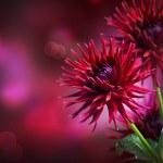 Dahlia Autumn flower design — Stock Photo