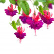 Fuchsia Flowers — Stock Photo #10687213