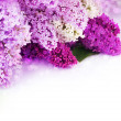 Spring Lilac Border. Isolated On White — Stock Photo #10687768