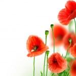 Beautiful Poppies Border — Stock Photo