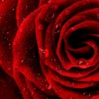 red rose flower closeup — Stock Photo