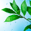 Beautiful Fresh Leaves with Water drops — Stock Photo
