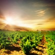 Stock Photo: Vineyard