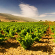 Beautiful Lush Grape Vineyard — Stock Photo #10688862