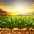 Vineyard — Stockfoto #10688863