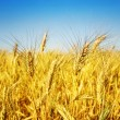 wheat — Stock Photo #10688893