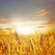 Wheat Field — Stock Photo #10688909