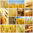 Wheat. Harvest Concepts. Cereal Collage — Stok fotoğraf