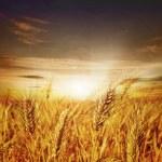 Beautiful Wheat. Sunset — Stock Photo