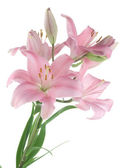 Beautiful Lily Over White — Stock Photo