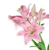Piękne różowe lilia na białym tle — Zdjęcie stockowe