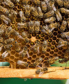 Working Bees On Honeycombs — Stock Photo