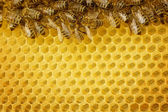 Honey Bees Border — Stock Photo
