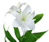 Beautiful White Lily Isolated — Stock Photo