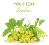 Linden Tree Flowers Border — Stock Photo