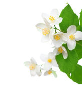 Jasmine Over White — Stock Photo