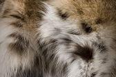 Lynx Fur Background — Stock Photo