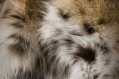 Lynx Fur Background — Stock Photo