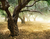 Old Olive Trees — Stock Photo