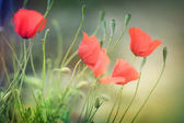Poppies. Shallow DOF — Stock Photo