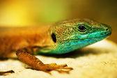 Lizard Closeup — Stock Photo