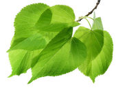 Spring Green Leaves Over White — Stock Photo