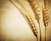 épis de blé rétro — Photo