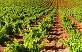 美丽茂盛的葡萄葡萄园 — 图库照片