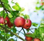 Fresh Organic Apples — Stock Photo