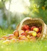 Manzanas orgánicas saludables en la cesta — Foto de Stock