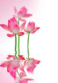 Beautiful Lotus With Reflection — Stock Photo