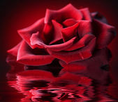 Perfect Rose with water reflection — Stock Photo