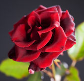 Beautiful red Rose over black — Stock Photo