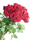 Lindas rosas vermelhas sobre branco — Foto Stock