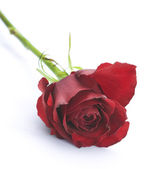 Red Rose over white — Stock Photo