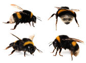 Bumblebees Collection — Stock Photo