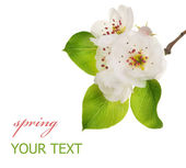 Spring Pear Blossom — Stock Photo