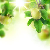 Beautiful Fresh Apples In Orchard — Stock Photo
