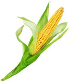 Corn Over White — 图库照片