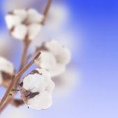 Piękne bawełniane — Zdjęcie stockowe