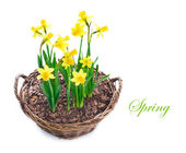 Beautiful Daffodils growing in a basket — Stock Photo