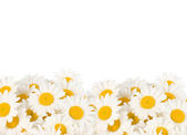 Daisy Border — Stock Photo