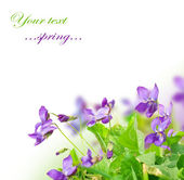 Spring Violet Flowers — Stock Photo