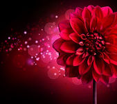 Dahlia Autumn flower design.Over black — Stock Photo