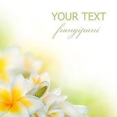 Spa frangipani granicy kwiaty. plumeria — Zdjęcie stockowe