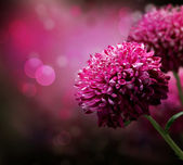 Dahlia podzim květinovým motivem. kopírování-prostor — Stock fotografie