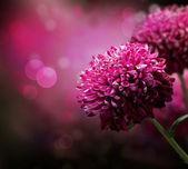 Disegno fiore d'autunno di dahlia. con copia-spazio — Foto Stock