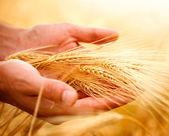 Spighe di grano nelle mani. concetto di vendemmia — Foto Stock